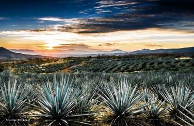 The sun is setting over a field of Yucca plants near the beach