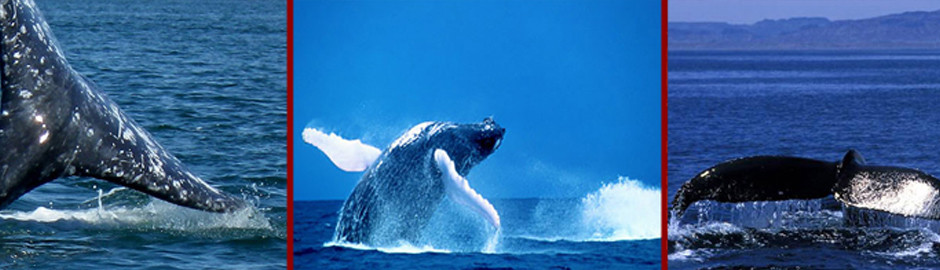 Whales off the cost of Baja Mexico.
