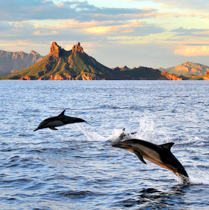 Dolphins jumping out of the water in San Carlos, Mexico