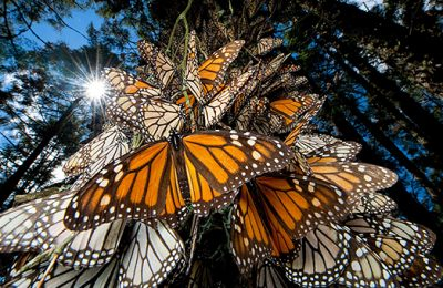 train of monarch butterflies perched in a tree