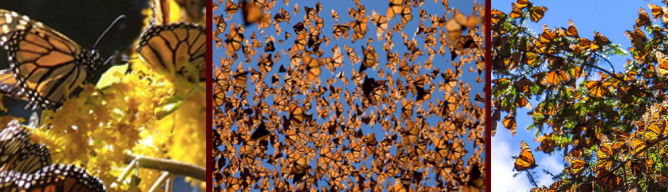 Three pictures of Monarch butterflies flying in a large group.