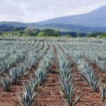 Picture of the Blue Agave Fields