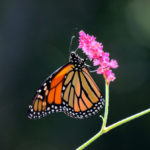 Closeup picture of a Monarch Butterfly