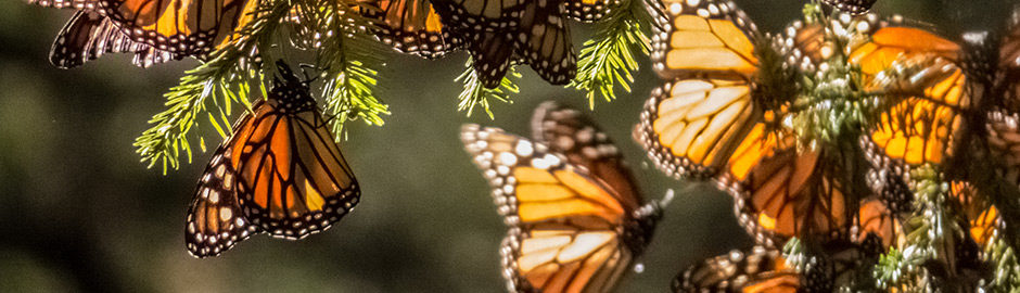 The majestic Monarch butterflies migrate every year from northern U.S. and Canada